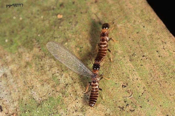 触角膝状,第一节较长而弯曲.   ↑一群雄性蚂蚁,争夺与雌蚁的交配权