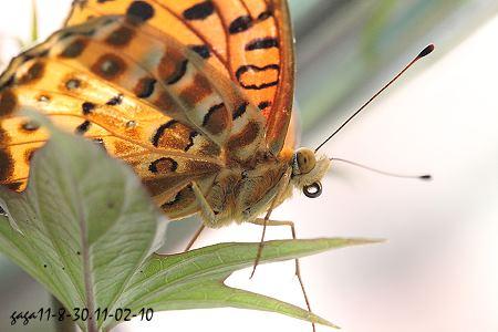 ↑黑端豹斑蝶,触角末端棍棒状.-黑端豹斑蝶Argyreus hyperbius