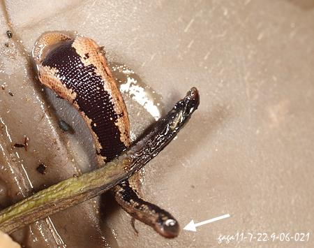 蚂蟥 水蛭