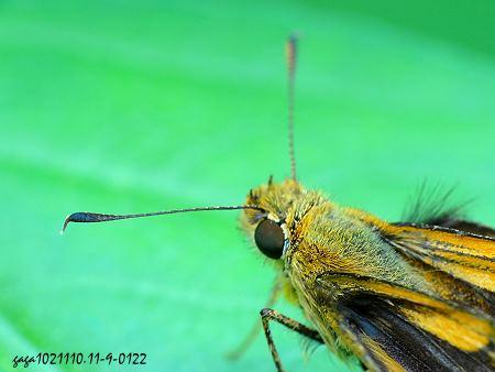 带黄斑弄蝶 ,触角特写,末节棍棒状但端部尖勾状,这是弄蝶科特徵