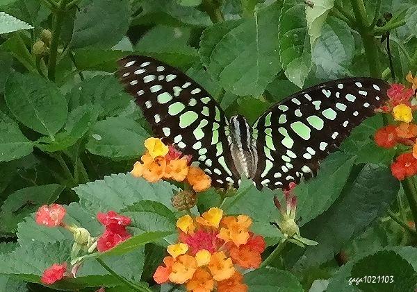 绿斑凤蝶 展翅