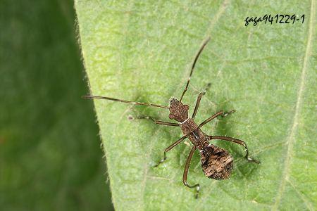 蚂蚁的触角呈膝状,本种为鞭节状.-条蜂缘椿 Riptortus linearis