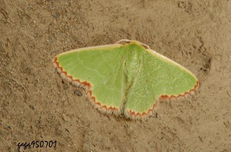本种分布於平地至低海拔山区,栖息量不多见.
