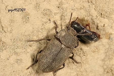 ↑拟步行虫,外观近似的种类,本图分布於平地,翅背刻点及纵纹较不