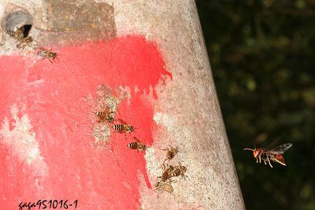 中国蜂apis cerana fabricius, 1793