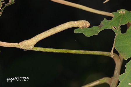模仿树枝的尺蠖蛾