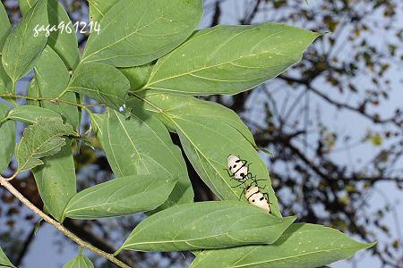 成虫 4-5月出现,11-12月可见越冬的个体,曾发现于白匏子,朴树上,喜欢图片