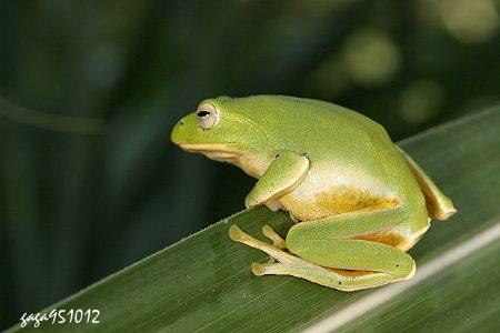台北树蛙 Rhacophorus taipeianus图片