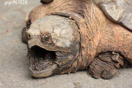 鳄鱼龟是不是保护动物