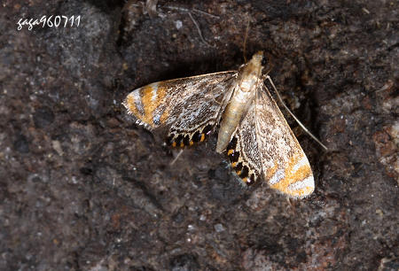 ↑水螟蛾,外观近似的种类,本图前翅灰白色的大斑扩大到前缘及近翅图片