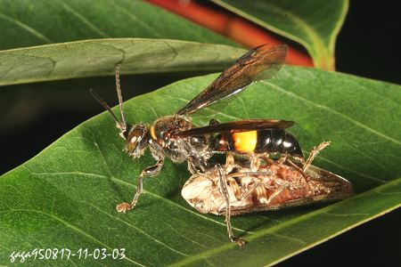 老虎头部-↑黄腰虎头蜂,兰屿的个体.   ↑黄腰虎头蜂,腹部前半黄色,故称黄腰图片