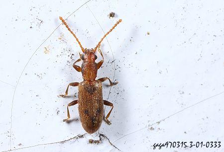 细  扁  甲