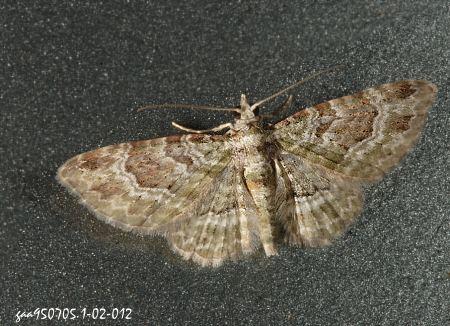 本属有6种,本种主要分布於低海拔山区,为台湾特有种.