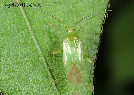 本种分布於中高海拔山区,栖息树林内的草丛地带.