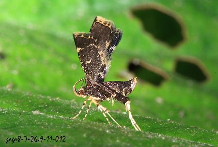 折角蛾,翅面有一枚弯月状的黄斑.