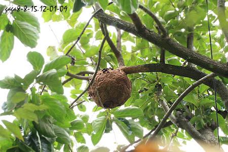 ↑黑腹虎头蜂的圆型蜂巢,筑在很高的乔木上.-黑腹虎头蜂 Vespa