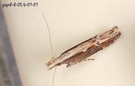 近翅端有黄褐色及白色的波状纹,型态模仿截平的枯木.