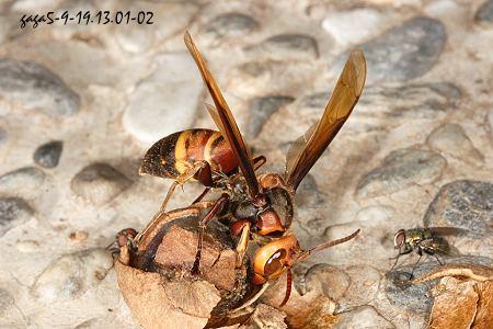 黑尾虎头蜂