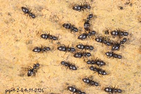 ↑琉璃蚁,体色黑色