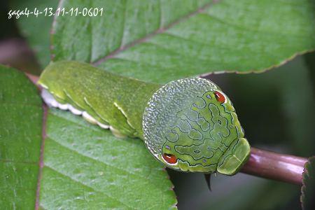 烏鴉鳳蝶 Papilio bianor thrasymedes Fruhstorfer, 1909 - 甜甜 - 甜甜的小屋