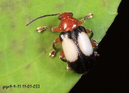 前胸背板红色,触角基部2节黄褐色,翅鞘黑色,中央有一枚椭圆形米