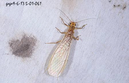 石 蝇 Plecoptera