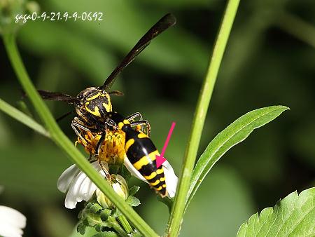 虎斑泥壺蜂