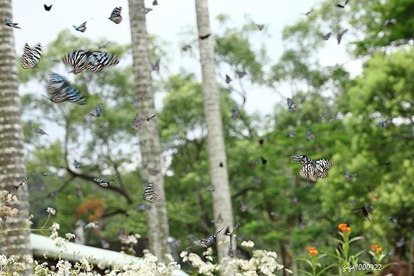 7月22日與楊宗儒老師有約 參觀他在大坪國小規劃的蝴蝶花廊 當天部份工程還在施工 但教室前方澤蘭的花叢上 滿天的蝴蝶飛舞十分壯觀  楊老師形容蝴蝶像蒼蠅那麼多 我用180mm遠遠的拍下這個景 然後到操場那一邊參觀蝴蝶花廊的工程 後來 又到附近的自然生態農場拜訪紹忠 所以大坪國小蝴蝶花廊的壯觀場景就沒再多拍了 有點可惜-----  楊老師說該校徐主任飼養蝴蝶很有心得 在她的辦公室裡看到不少幼蟲和蝶蛹 其中一顆黃頸蛺蝶的蛹最漂亮 取出到走廊以自然光拍出的不同背景的畫面  還有像樹枝的黃星鳳蝶的蛹 找找看 蛹