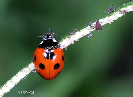七星瓢虫 coccinella septempunctata