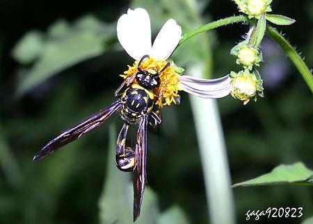 Phimenes flavopictus formosanus