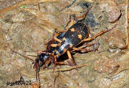 黄尾放屁虫 pheropsophus