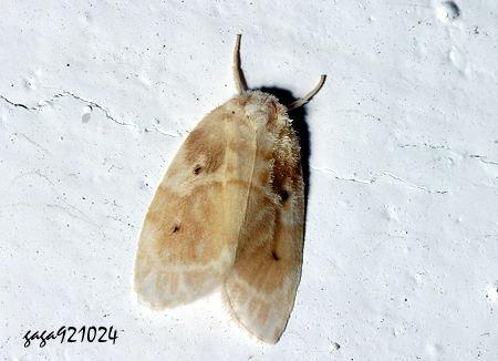 珠苔蛾 Schistophleps bipuncta