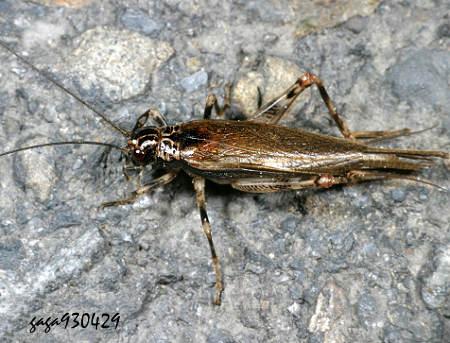 蟋蟀品种梅花翅