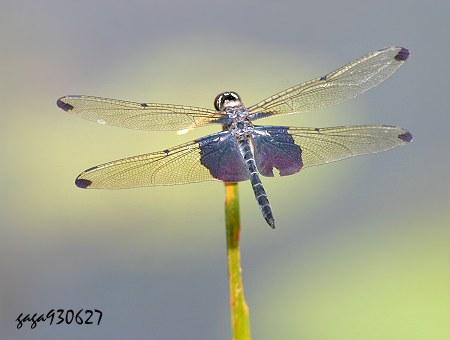 飞翔蜻蜓手绘图片