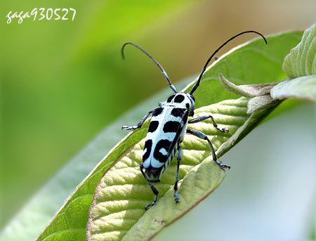 体背淡蓝色,翅面左右有4对黑色横斑,近翅端的2枚黑色斑上下相连呈圆圈