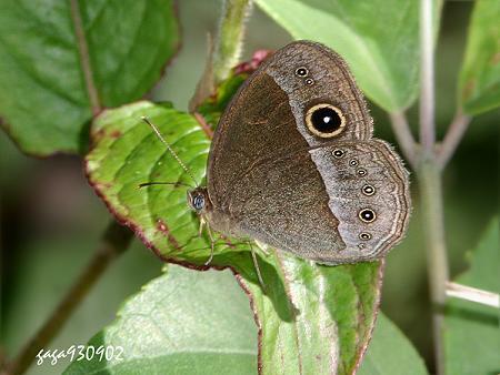 小蛇目蝶 mycalesis francisca