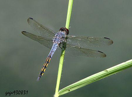 蜻蜓彩铅手绘图