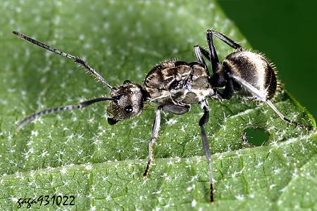 ↑渥氏棘蚁,触角第一节较长形成膝状,雌蚁前胸背板侧缘不具刺突,