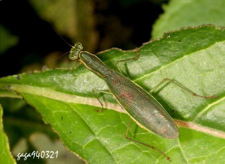花螳属) 体长 20  - 25 mm,身体扁平,上唇黄色,前胸背板绿色