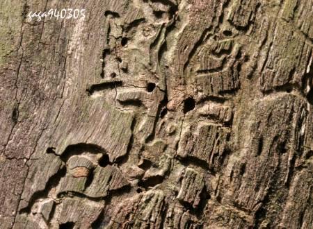 在一棵枯木上看到天牛幼虫寄栖的痕迹,树皮已剥落,天牛应早就羽化了.