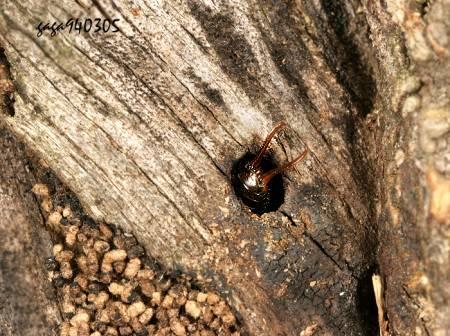 附近的树干都有类似的小洞穴,其中一个洞穴有蚂蚁进出引起我的好奇.