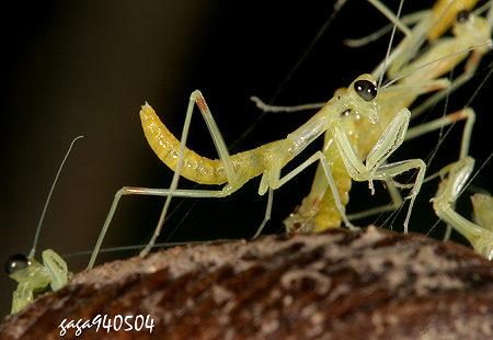 绿巨螳螂图片; 螳螂宝宝;; 螳螂出世在线视频