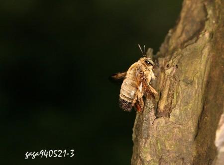 和黄领花蜂打群架的灰色木蜂
