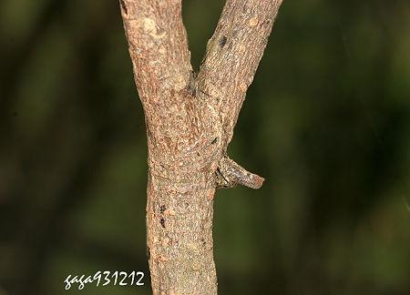 ↑枯枝尖鼻蛛 ,模仿树枝一般会停栖在枝条分叉处.