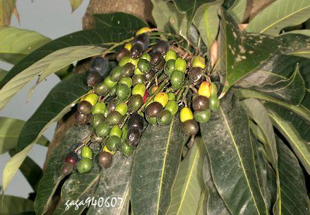群集树干上吸食花蜜和果实,以多种植物为食,常见山漆,木棉等行道树上.