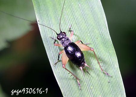 黑胫草蟋蟀 trigonidium