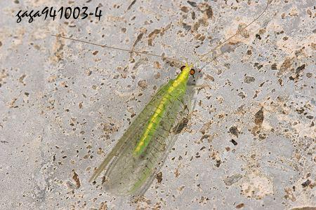 欧洲蓝斑蜥蜴_翠绿色的飞虫子-绿色会飞的虫子图片|绿色的虫子会飞有翅膀|翠 ...