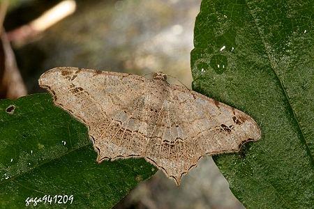 本种又称 连珠尾尺蛾,普遍分布於低海拔山区,幼虫各龄体色黄绿色,左右