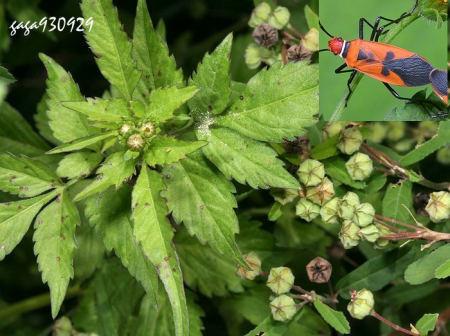 姬赤星椿象的寄主植物—白花鬼针草.